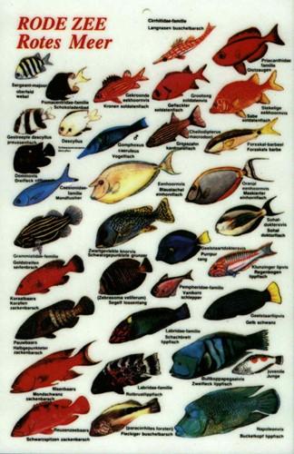 Visherkenningskaart Rode Zee
